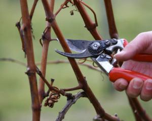 obrezka-vinograda-osenyu