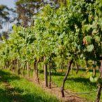 Выбираем место для виноградника
