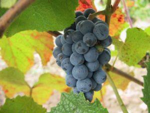 vinograd-amurskij-vitis-amurensis-rupr-640x479