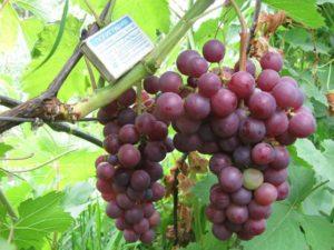 vinograd-mogilev-image00210