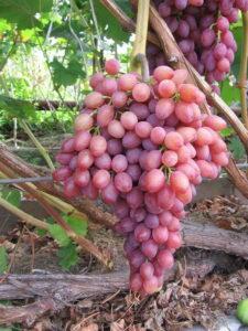 vinograd3