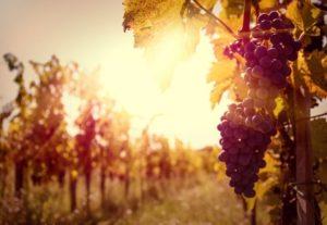 wine-grape-4