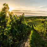 Виноград Андрос: описание подвойного сорта