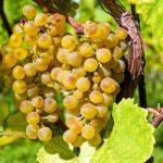 Акташ: описание бессемянного, технического сорта винограда с фото
