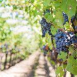 Диагностика винограда: в каких удобрениях нуждается виноград